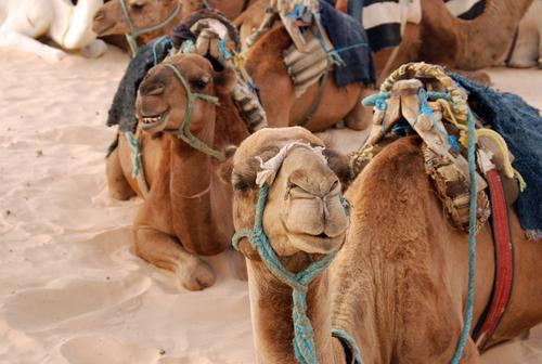 Kameler tur i Tunisia