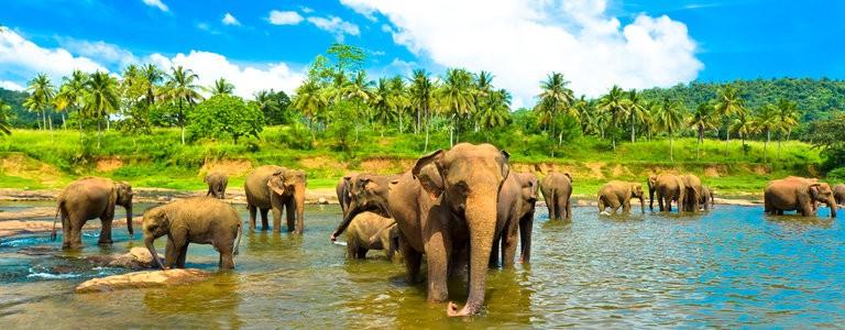 srilanka_elefanter